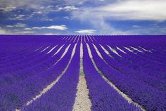 Lavanta Tarlaları, Provence, Fransa