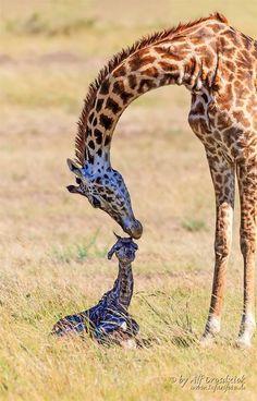 ~~Birth of a Giraffe • newborn giraffe calf, Masai Mara, Kenya • by Alf Drosdziok~~