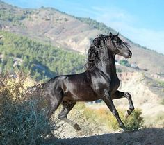 Andalusian stallion,'Ventisco SG II' (photo by Alexia Khruscheva) All The Pretty Horses, Beautiful Horses, Animals Beautiful, Andalusian Horse, Appaloosa Horses, Friesian, Black Horses, Wild Horses, Black Stallion Horse