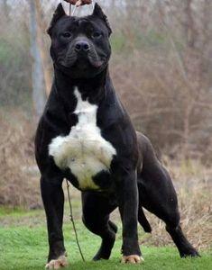 The Truth About The All Black Pitbull - meowlogy Amstaff Terrier, Pitbull Terrier, Bull Terriers, All Black Pitbull, Black Pitbull Puppies, Pitbull Noir, Big Dogs, Cute Dogs, Cãezinhos Bulldog