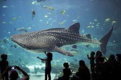Wow! Whale of a Shark!