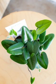 Hemionitis arifolia                         – Folia Collective Zz Plant, Los Angeles Shopping, Monstera Deliciosa, Ferns, Botany, Indoor Plants, House Plants, Plant Leaves, Shapes