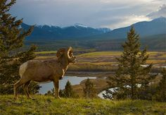 big horn sheep in canadian rockies | Bighorn Sheep pauses for a moment to enjoy the incredible ... | Sce ...