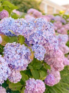 Flower Power, Hydrangea Season, Passion Deco, Hydrangea Flower, Hydrangeas, Hydrangea Garden, Deco Addict, Olive Garden, Diy Décoration