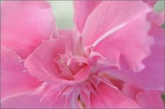Pink Oleander Flower Macro Photograph by Jenny Rainbow Art Prints For Home, Home Art, Fine Art Prints, Framed Prints, Everything Pink, Youre Invited, Fine Art Photography, Pink Color, Pretty In Pink
