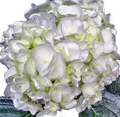 Silver Flowers | Buy Silver Flowers Online | Silver Rose | Silver Thistle Order Flowers, All Flowers, Silver Flowers, Beautiful Flowers, Flowers Online, Rose Centerpieces, Rainbow Roses, Hydrangea Flower, Flower Bouquet Wedding