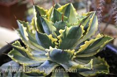 Of all the plants in the show, this  was my favorite because of its deeply indented sides, rust-colored spines and  variegation. It was entered by agave expert Tony Krock of Terra Sol nursery in Santa Barbara, and is an Agave potatorum hybrid. by Debra Lee Baldwin