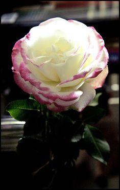 ~Wild-Irish-Rose