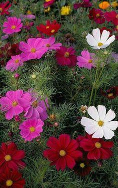 Pretty flowers- Kosmeia