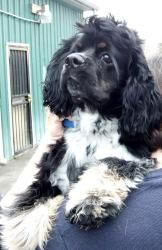 Lucky is an adoptable Cocker Spaniel Dog in Indianapolis, IN. Lucky is a darling. He is a cocker spaniel with very interesting markings. Lucky loves kids and other animals. He is an escape artist a...