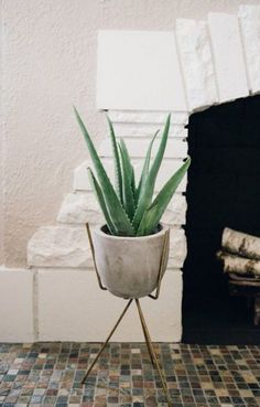 When it comes to houseplants, aloe vera comes in to picture as one of the best plants to be placed indoors. Do you think aloe vera plants clean the air? Air Cleaning Plants, Air Plants, Indoor Plants, Indoor Succulents, Succulent Gardening, Indoor Gardening, Potted Plants, Aloe Vera, Ficus