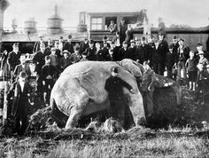 A crowd gathers after Jumbo the elephant is struck and killed by a train in St. Thomas, Ontario, Photograph by Andersons Limited. Jumbo The Elephant, Photos Vintage, African Bush Elephant, Rare Historical Photos, Rare Photos, World Geography, Canadian History, Large Animals, St Thomas