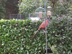 I thought Pheasant's were ground feeders !