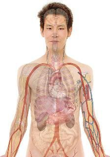 Picture Of The Organs Of The Body 5 Most Important Organs In The Human Body Human Anatomy Kenhub. Picture Of The Organs Of The Body Top 10 Most Important Human Body Organs. Picture Of The Organs Of The Body Body… Continue Reading → Human Organ Diagram, Angina, Human Body Organs, Body Study, Liver Cancer, Liver Disease, Body Anatomy, Muscle Building, Fibromyalgia