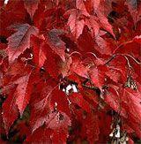 Javor ohnivý (amurský) | Acer ginnala (= Acer ginala = Acer tataricum) - Záhradníctvo ABIES