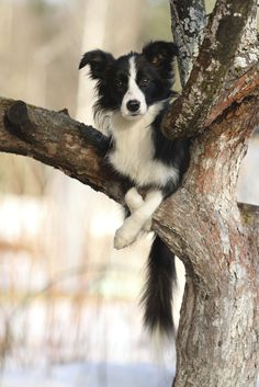 Border collie in a tree