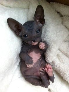 Cat Facts: 6 Fascinating Facts About Hairless Cats Kittens sphynx cat Crazy Cats, I Love Cats, Cute Cats, Cute Baby Animals, Animals And Pets, Funny Animals, Sleepy Animals, Large Animals, Animals Images