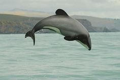 - I'd like to see the Maui's Dolphin brought back from the brink in my lifetime.  That would be the ultimate thing.