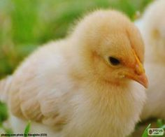 Pollo Animal, Miraculous, Baby Chicks, Have Fun, Puzzles, Bird, Image, Mochi, Flowers