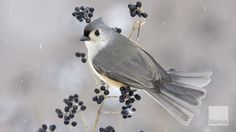 Tufted Titmouse Baeolophus perched on privet with berries in snowfall © FLPA/S & D & K Maslow