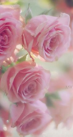 Beautiful Rose Flowers, Amazing Flowers, Pink Flowers, Beautiful Flowers, Flower Phone Wallpaper, Flower Wallpaper, Morning Flowers, Flower Aesthetic, Pretty Wallpapers