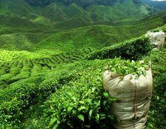 Tea estate, Sri Lanka