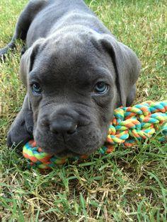 #Cane #Corso #puppy, Maximus