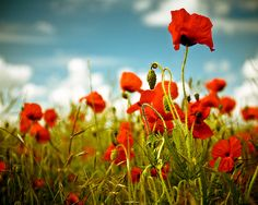 The Poppy Fields in Galipoli - This is significant to New Zealand history as it is a remembrance of the soldiers who fought for our country.