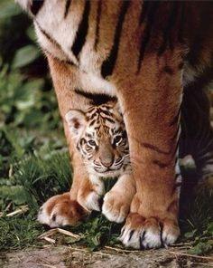 A camera-shy tiger cub hiding under its mother