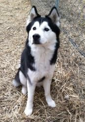 Nadia is an #adoptable Husky Dog in #Saginaw, #MICHIGAN. Nadia is a 3 or 4 year old female Husky.  She wandered into the animal shelter yard to visit with our dogs during their exercise time on April 7th.  Nad...Please click on pic for additional info on this dog