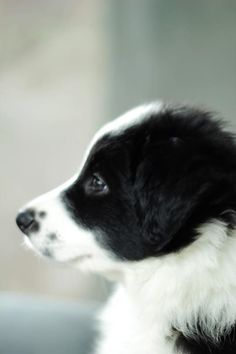 Border collie puppy. I'm such a sucker for a beauty spot or two.