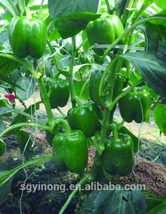 d397fec098ad Tomas F1hybrid sweet pepper seeds early maturity high yield strong fruit  setting red mature vegetable seeds