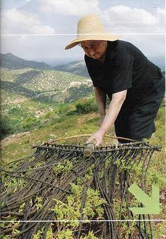Collecting labdanum - gum arabic