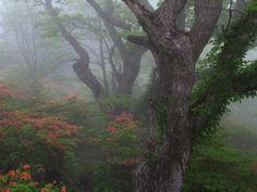 Rengetsutsuji, Mount Akagi, Japan