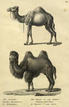 Dromadaire et chameau de Bactriane   Musée des Confluences