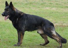 Pix For > Gray Sable German Shepherd Puppies
