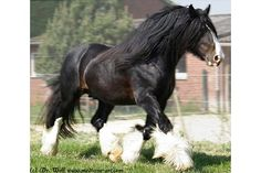 Shire Horse - I love these big horses, I want one if I ever get a loooooooot of money. I want a black/brown one like this. His name would be BLACK BEAUTY!!! :)