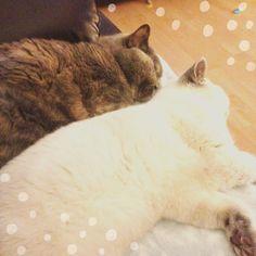 Ah the sweet sound of #kitties #snoring together #acatlikecuriosity #cat #catsofinstagram #catlady #catstagram #catwoman #cute #friends #britishshorthair