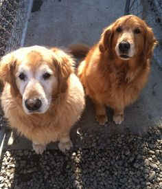 #Boarder siblings, Sam and Allie, wait patiently for a treat:) #GoldenRetriever #DogBoarding #VacationTime #BestFriends