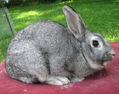Chinchilla Rabbit | Standard Chinchillas