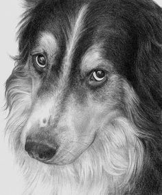 drawing Collies | Pencil drawing of a collie.