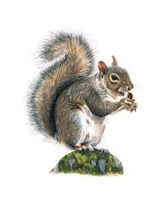 Fox Squirrel - Colored Pencil Drawing - Samantha Luotonen