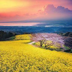 Sakura and rape-flowers at Shirakimine, Isahaya City, Nagasaki Prefecture.