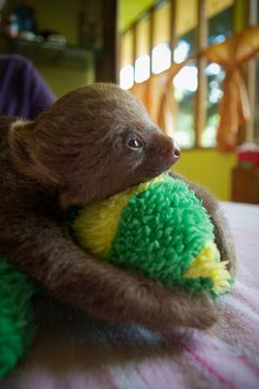 Baby Sloth squeezing a toy. Cute Baby Sloths, Cute Sloth, Sloth Bear, Cute Little Animals, Adorable Animals, Cute Animal Pictures, Cute Creatures, Spirit Animal, Animals Beautiful