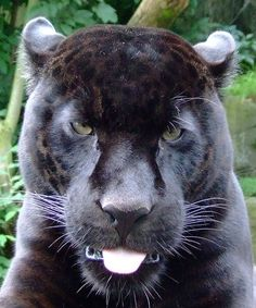 black jaguar   --another with his tongue out~!!  is this a common theme with jaguars? lol <3