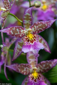 Grrrr - a little garden leopard.bite your bum - Purple and yellow Star Orchid Flowers Nature, Exotic Flowers, Amazing Flowers, Beautiful Flowers, Orchidaceae, Dream Garden, Amazing Nature, Mother Earth, Trees To Plant