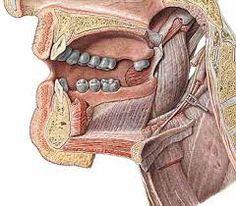 larynx sobotta - Szukaj w Google