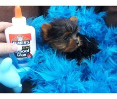 AKC registered Tiny Yorkie Babies is a Yorkshire Terrier Puppy For Sale in Houston TX