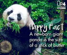 A newborn giant panda is the size of a stick of butter