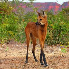 The elegant Maned Wolf, sometimes referred to as a 'red fox on stilts'.